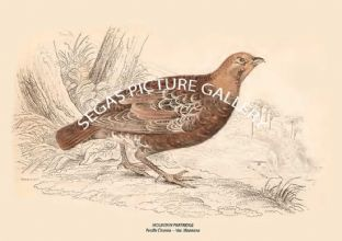 MOUNTAIN PARTRIDGE = Perdlx Cinerea -- Var. Montana